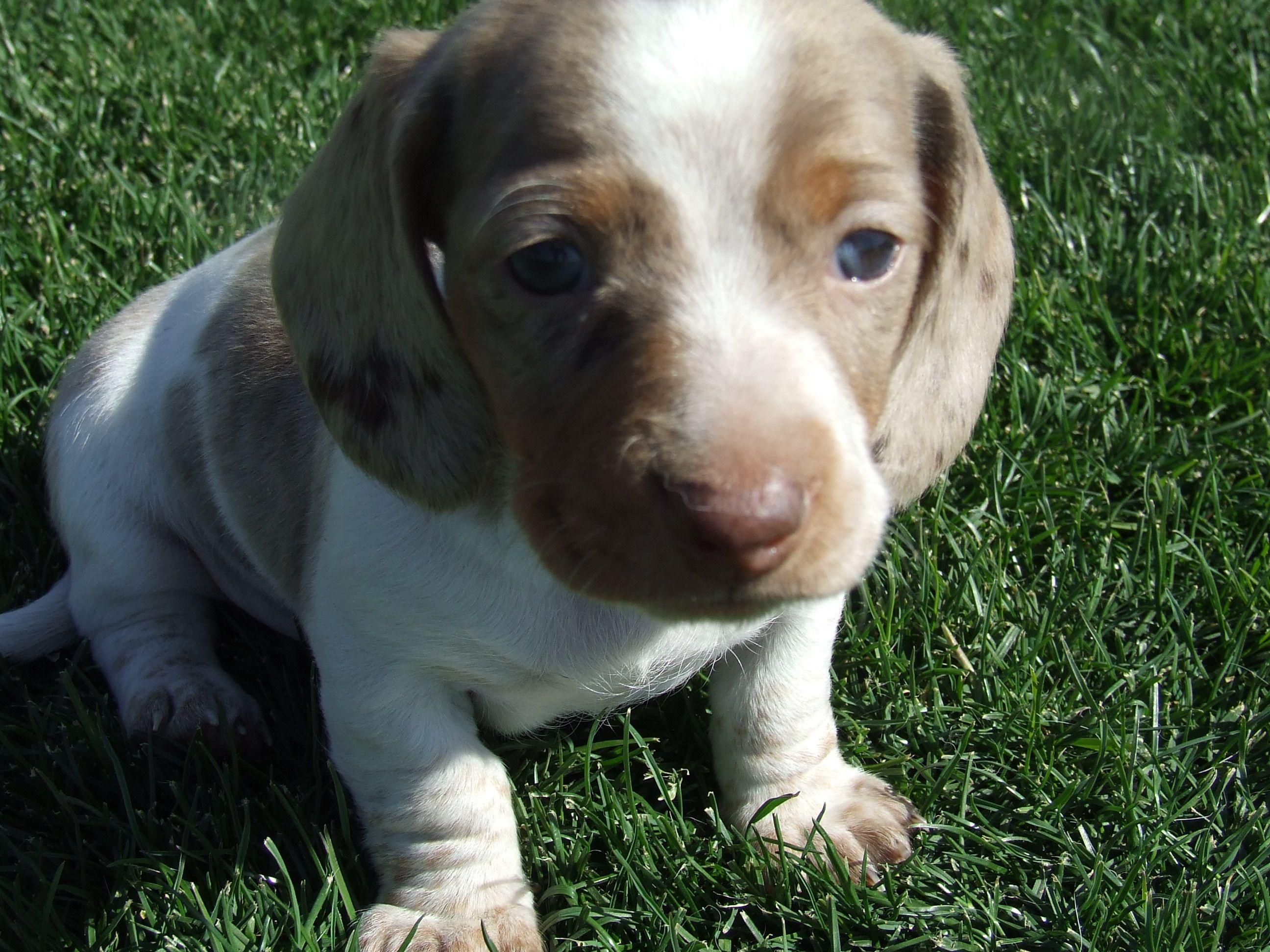 Isabella Dapple Piebald Baby With Beautiful Blue Eyes From Arizona Ground Hounds Sam Dachshund Puppies Cute Animals Sausage Dog