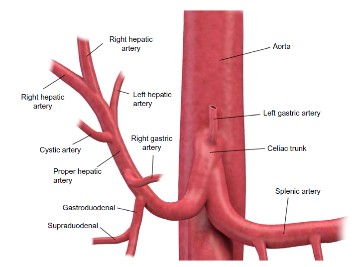 Figure 2 Diagram Of The Arterial Anatomy To The Liver Anatomy
