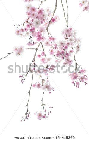 Weeping Cherry Tree Stock Photo Cherry Blossom Branch Cherry Tree Tattoos Weeping Cherry Tree