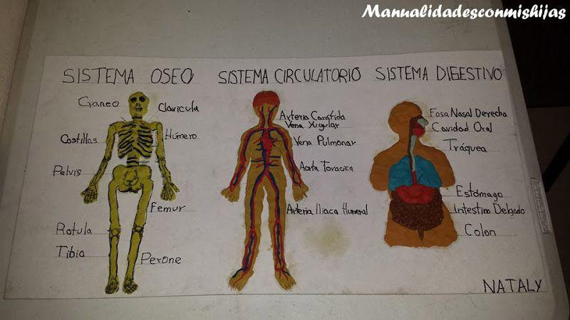Sistema oseo circulatorio y digestivo en plastilina