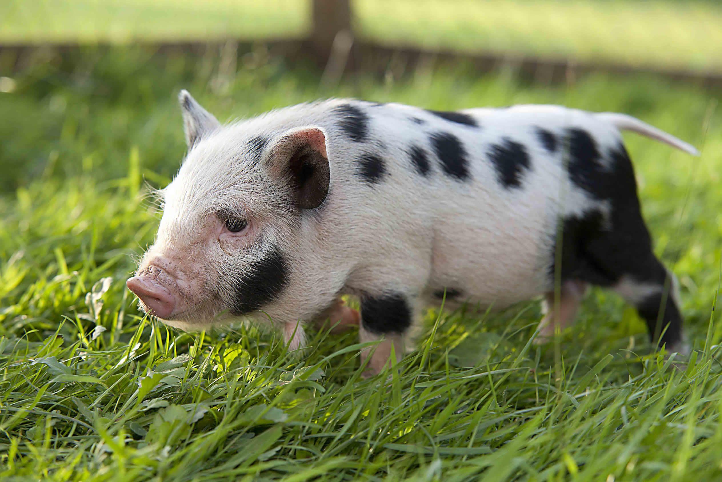 Miniature Pigs Micro/Mini Pigs For Sale Little