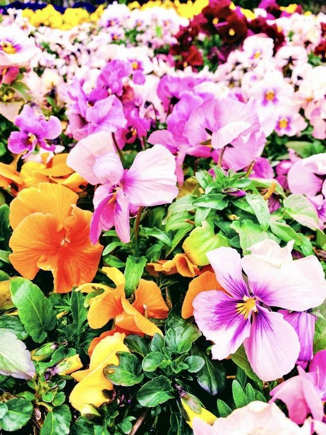 I'm selling this photo on Twenty20. You can buy it here. Flower bed in the park #flower #flowers #park #flowerbed #フラワー #綺麗 #花 #生花 #フラワー #ナチュラル #花壇