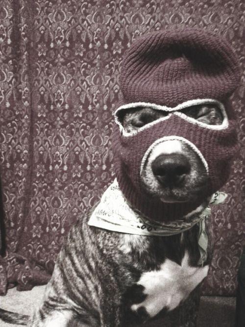 Photo#pitbulls #dog breeds #canine pet #dogs #pitbull puppy