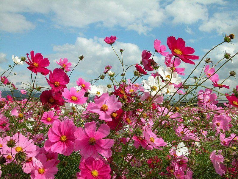 Cosmos Fotografias De Flores Buscar Con Google Rasteniya Cvety Landshaft