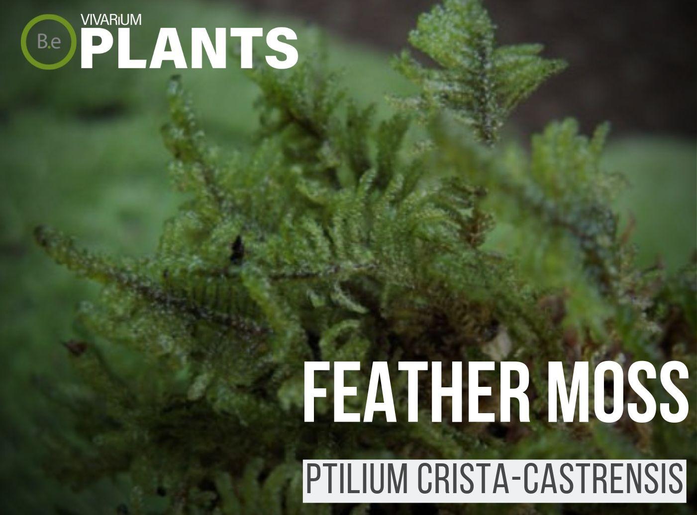 Ptilium Crista Castrensis Feather Moss Care Guide Vivarium