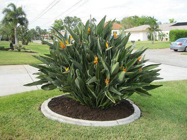 Bird Of Paradise Orange Millenniumnusrery Landscaping Ideas