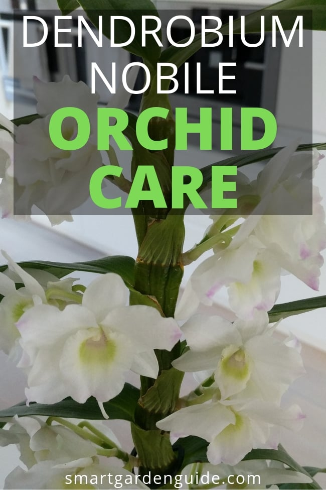 How To Care For A Dendrobium Nobile Orchid With Pictures Smart Garden Guide In 2020 Dendrobium Nobile Orchid Care Dendrobium Orchids Care