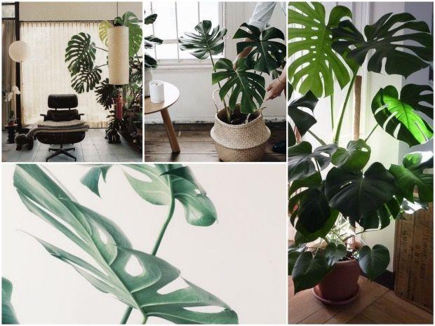 bien choisir sa plante d 39 int rieur plantes tropicales plantes et g ant. Black Bedroom Furniture Sets. Home Design Ideas