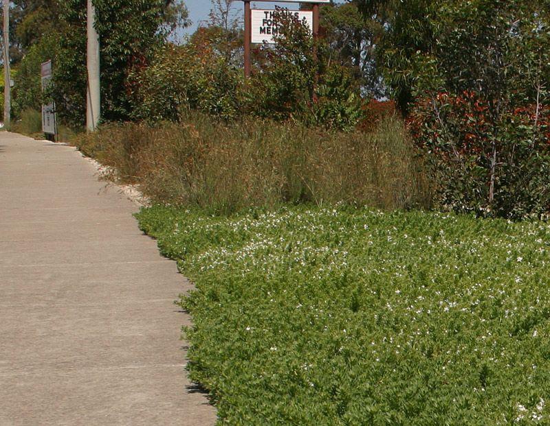 Myoporum Parvifolium A Nice Alternative To Grass Ground Cover Plants Garden Landscaping Garden