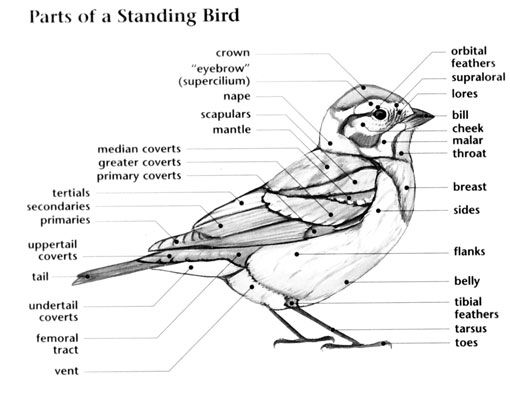 Bird Anatomy For More Accurate Identification Whatbird Bird