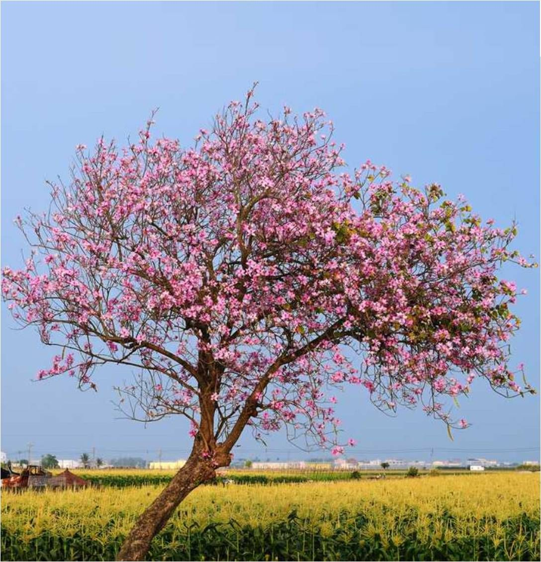 Cherry Blossom Tree Facts That You Definitely Never Knew Before Cherry Blossom Tree Cherry Blossom Blossom Trees