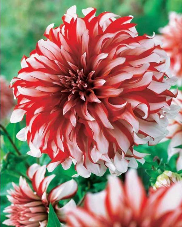 dahlia 39 santa claus 39 dahlia pinterest fleurs belles. Black Bedroom Furniture Sets. Home Design Ideas