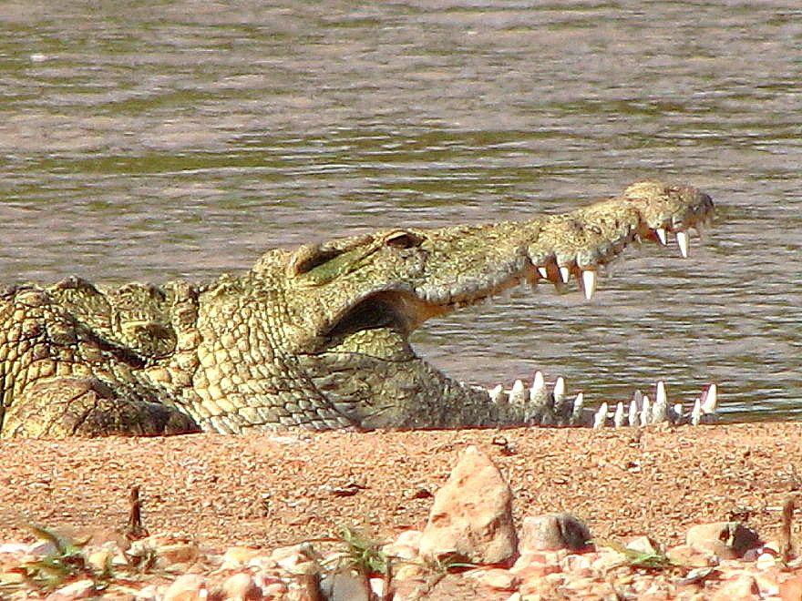 Crocodile south african wildlife