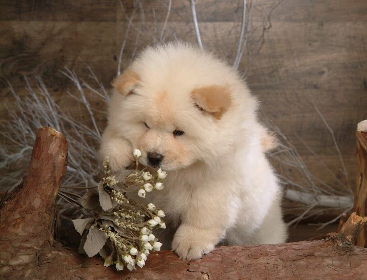 Omg It S Like A Mini Chow Chow Mix Coton Lazy Dog Breeds Cute