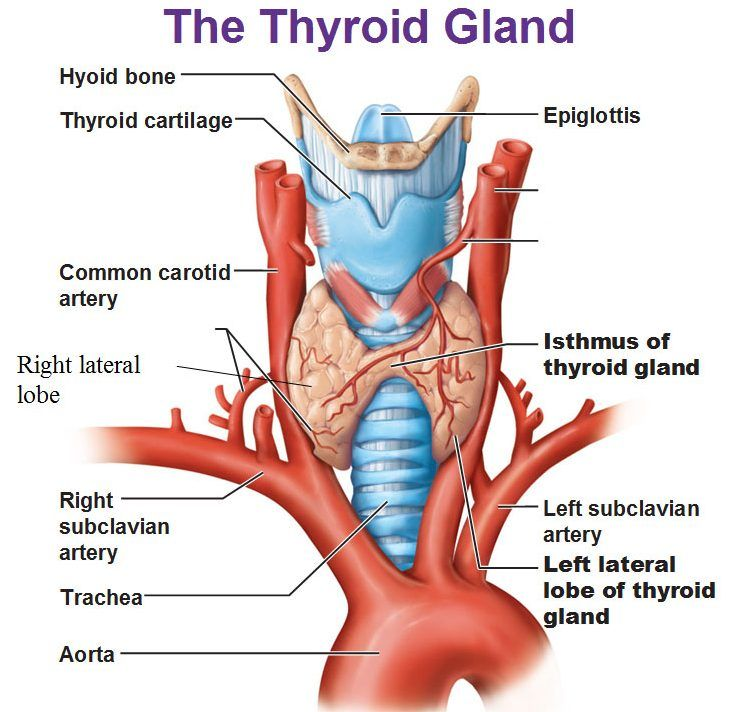 Image result for thyroid gland | Anatomy Book | Pinterest | Thyroid ...