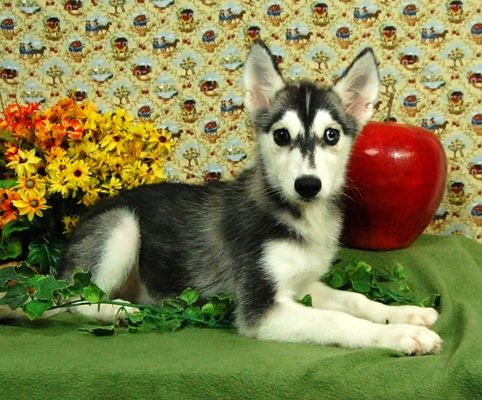 Siberian Husky Puppies Siberian Husky Puppies Husky Puppy Puppies