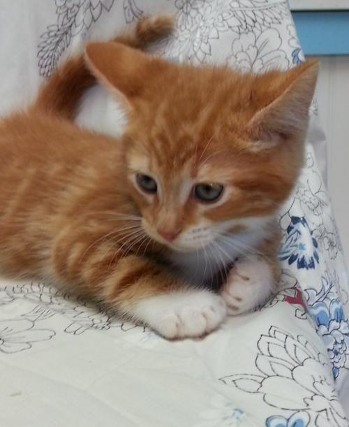 Meet Joey 22558 A Petfinder Adoptable Domestic Short Hair Cat Prattville Al Joey Is A 9 Week Old Orange White Tabby Saving Cat Pet Adoption Cat Adoption