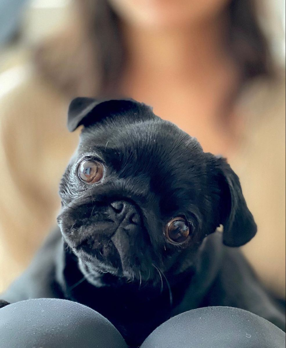 Pin By Nicky Connors On Pug Love Pugs Cute Pugs Pug Love