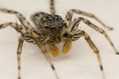 Posts About Jumping Spider On Life On Six Legs Jumping Spider Spider Spider Writing