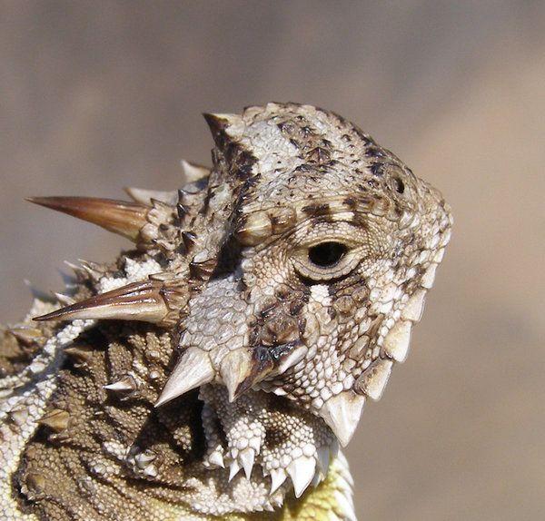 lagarto-cornudo1 | Animales | Pinterest | Lagartos, Lagarto cornudo ...