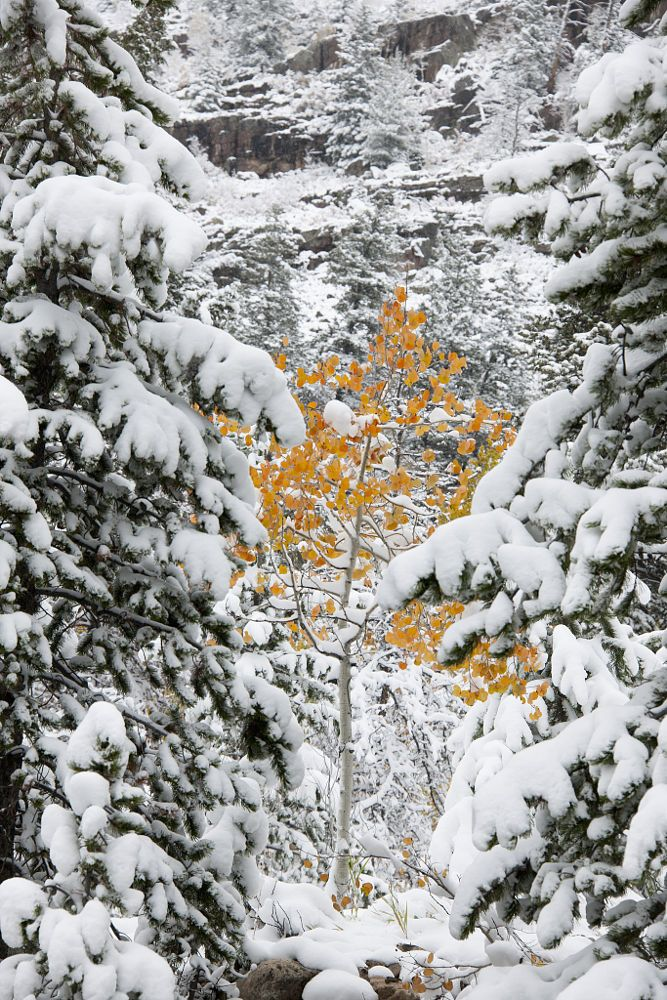 Pine trees with snow laden boughs, and a small aspen tree with vivid orange leaf colour.  by Mint Images on 500px