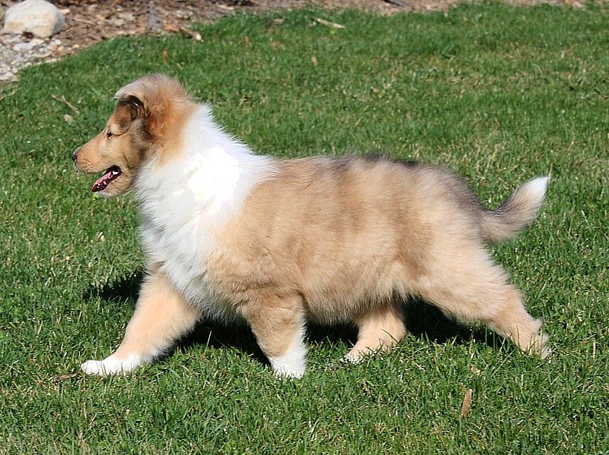Pin By Carolyn Mahon On Things I Love Shipoo Puppies Collie Puppies Dog Angel