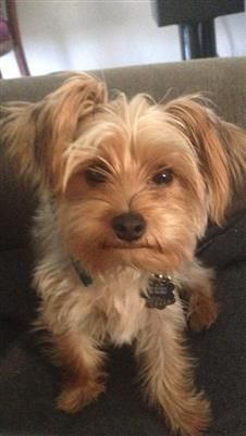 Beautiful Female Yorkies Puppies And Dogs For Sale Pets Classified