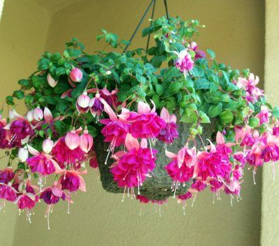 Fuschia Plant One Of The Things I Miss From Living In Virginia They Don T Grow Well In Florida Plants Fuchsia Flowers Hanging Flower Baskets