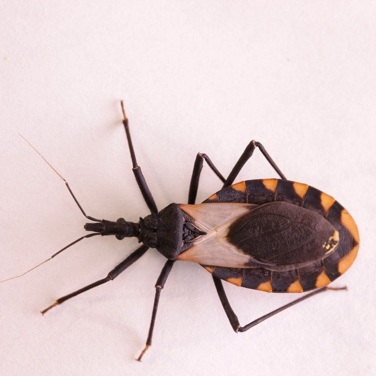 What Is The Deadly Kissing Bug Get Rid Of Wasps Bugs Keep