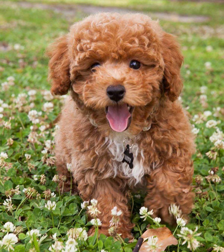 Bichon Poodle Mix The Bich Poo Teddy Bear Puppy Bichon Poodle