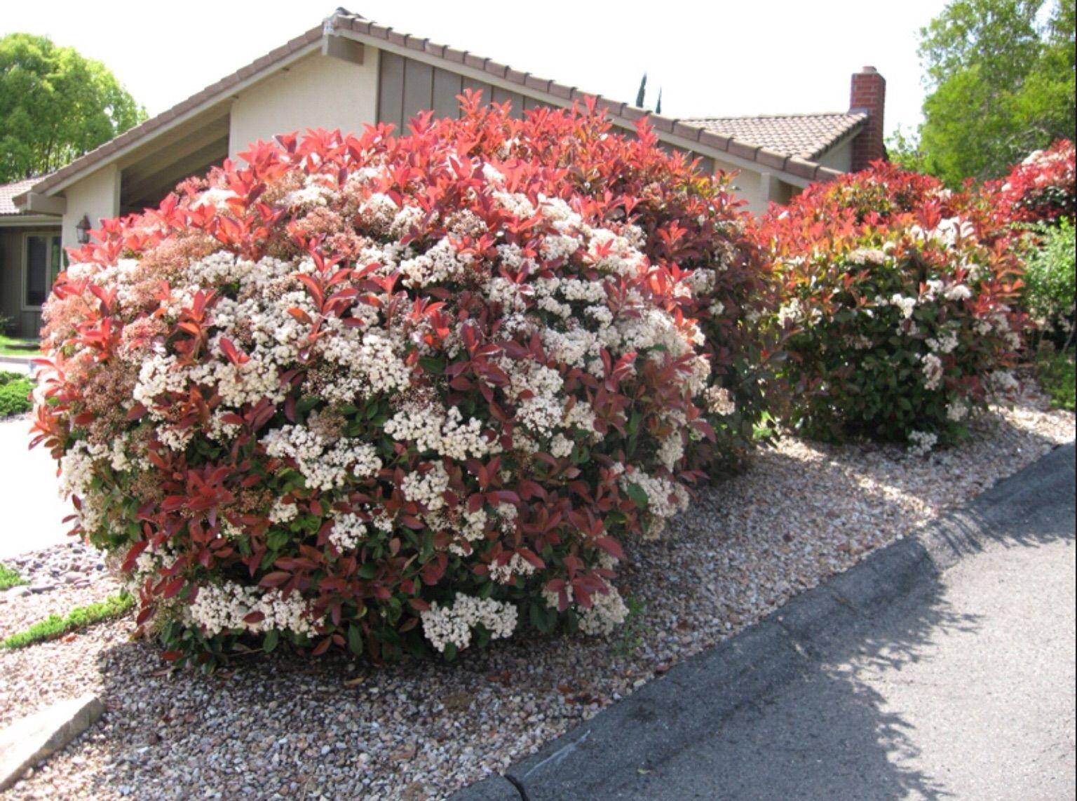 Seto de photinia nana setos coloridos pinterest setos for Arbustos en jardines
