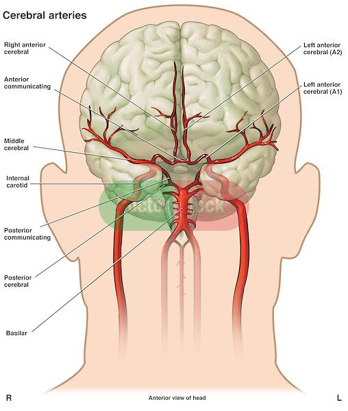 Posterior Cerebral Artery And Anatomy Httpdoctorstock