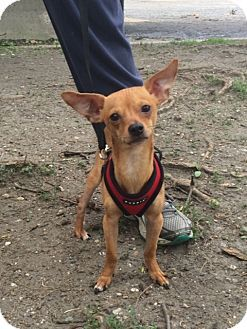 New York, NY - Chihuahua. Meet Bobby a Dog for Adoption.Bobby is a very sweet, kissy, small reddish brown Chihuahua. He likes to stand on your feet when he is next to you. Bobby came from a high-kill shelter in Texas