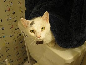 how to teach your kitty to use the toilet! seriously!