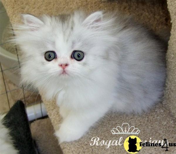 Persian Kittens Persian Kittens For Sale Persian Kittens Kittens