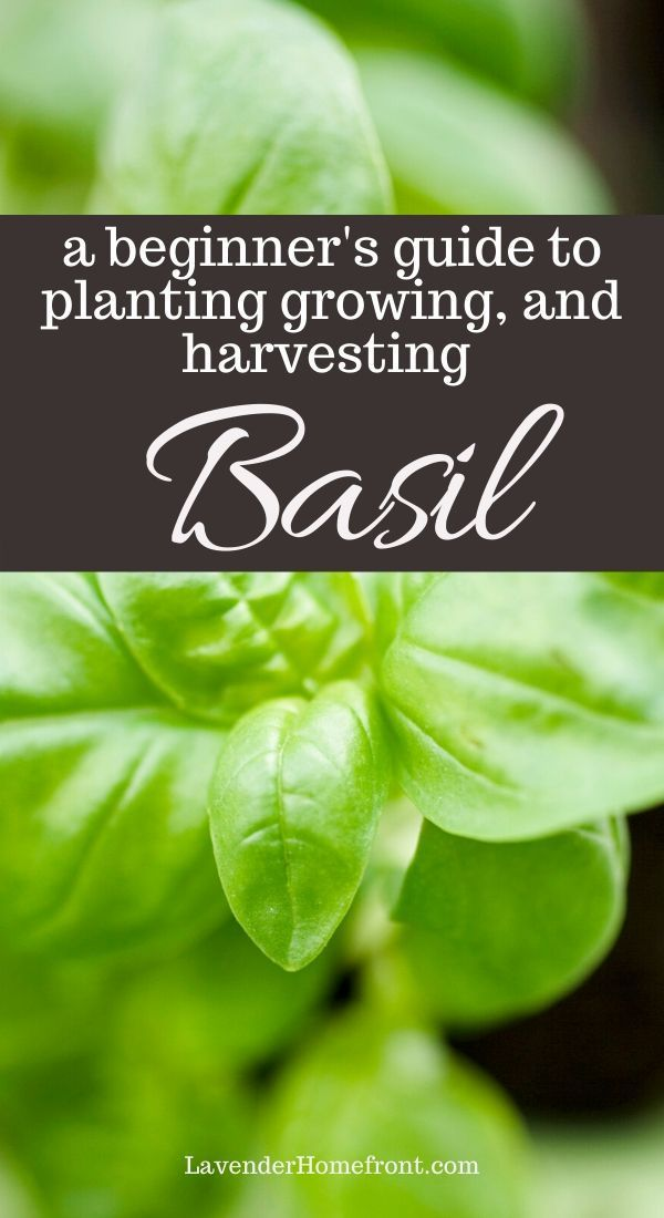 Learn the basics of growing this very popular herb. Basil is wonderful and has so many uses. This annual is easy to grow and perfect for the beginner gardener. #gardeningtips #gardenplanting #herbgardening #beginnergardening