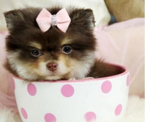 Between The Bow Matching Accessories And Stunningly Perfect Eyebrows Paisley The Pocket Pomeranian Is Always Instago Teacup Puppies Perfect Eyebrows Animals