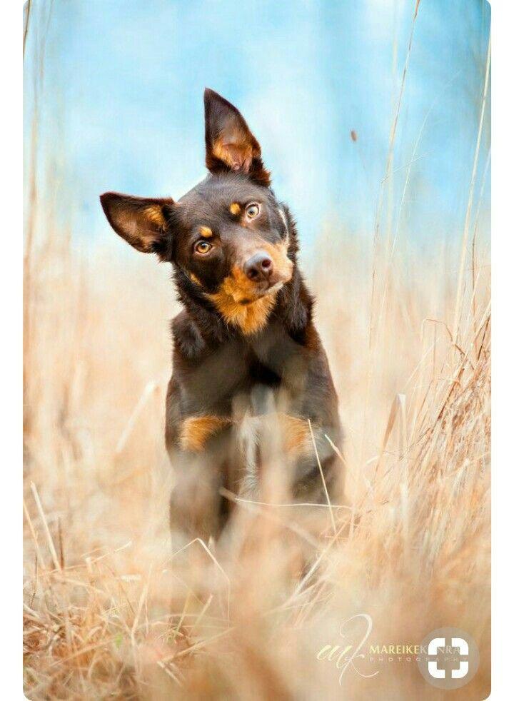 Kelpie   Australian kelpie dog, Dog breeds, Dog photos