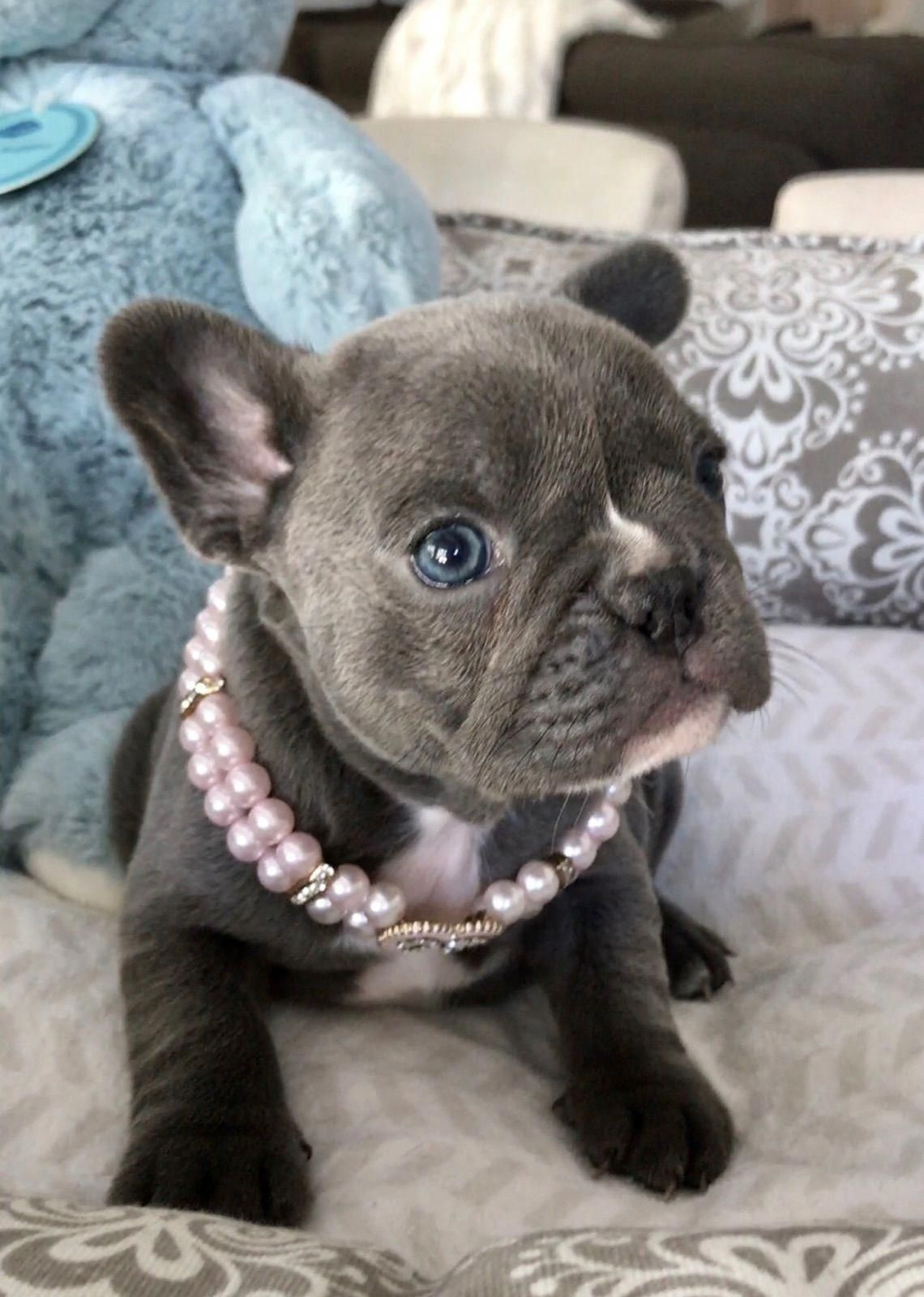 My Sweet Little Rosie Www Poeticfrenchbulldogs Com French Bulldog Puppi Blue French Bulldog Puppies French Bulldog Puppies Bulldog Puppies For Sale