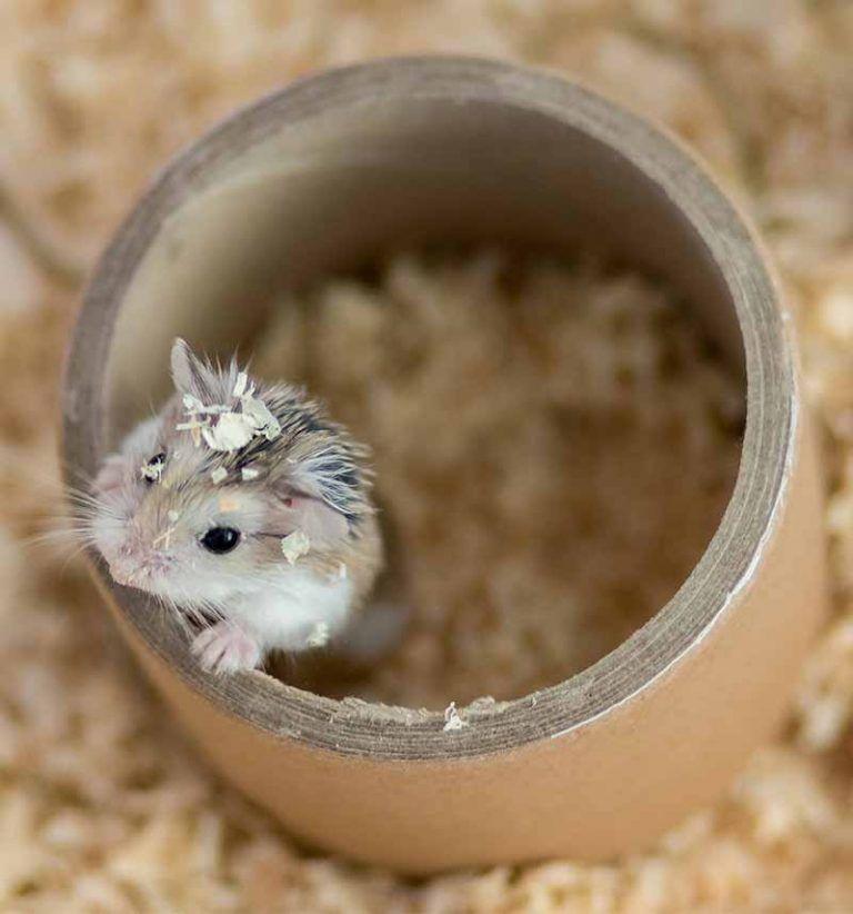 Roborovski Hamster The Complete Guide To The Robo Dwarf Hamster