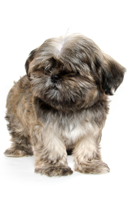 Baby Shih Tzu Puppies Baby Shih Tzu Shih Tzu Puppy Baby Shih Tzu Puppy Shih Tzu