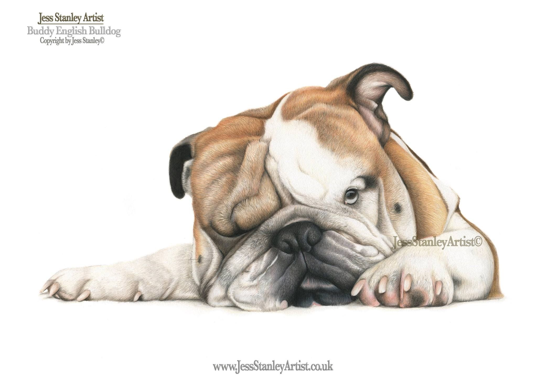 Buddy The English Bulldog By Jess Stanley Artist Portrait In Coloured Pencil Bulldogart Bulldog Drawing Dog Art Bulldog Art
