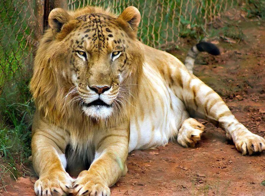 Kruising tussen een mannetjes leeuw en een vrouwtjes tijger. (Liger)