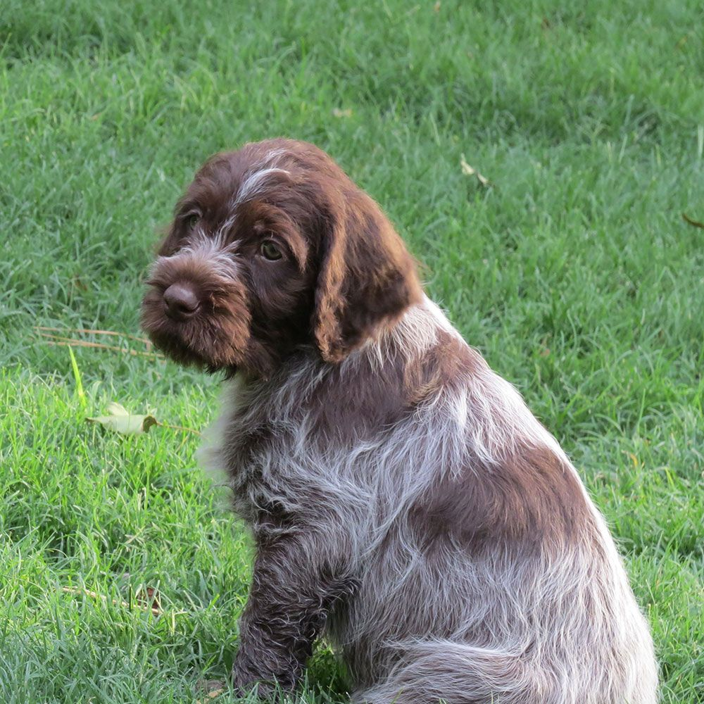 Wirehaired Pointing Griffon Puppies Soo Cute Wirehaired