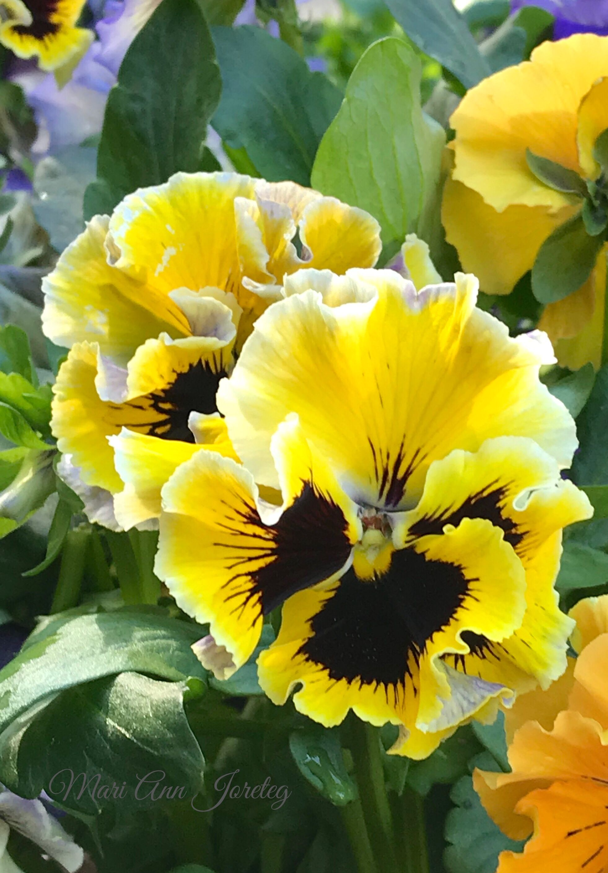Frilly P A N S I E S Pinterest Pansies Flowers And Gardens