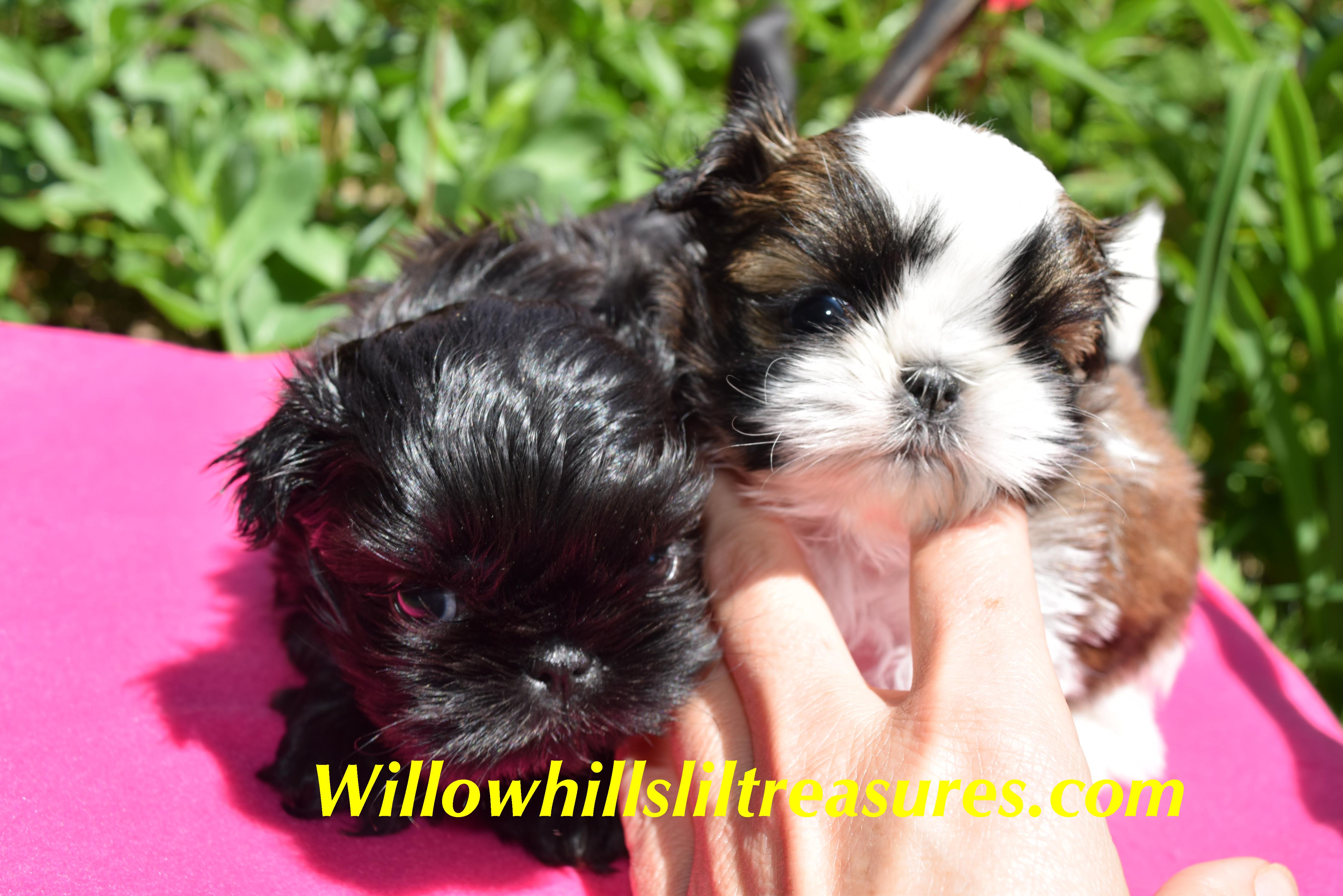 Willowhillsliltreasures Com Shih Tzu Puppy Puppies Little Puppies