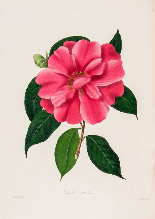 Design Is Fine Alfred Chandler Drawing Of A Camellia 1831 Colored And Finished With Gum Arabic Via Drewea Flower Drawing Botanical Drawings Plant Drawing