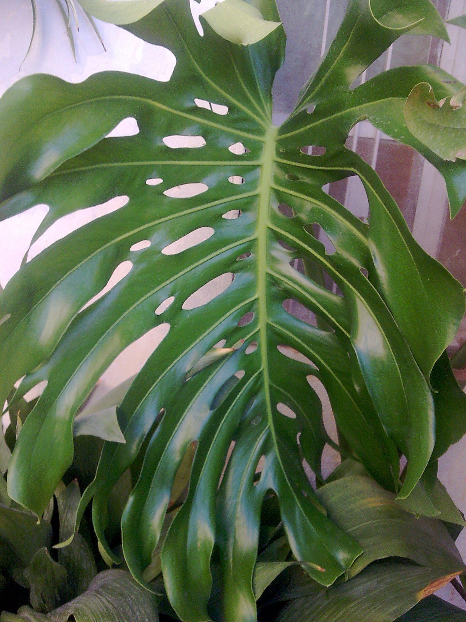 نبتة القفص الصدري Plant Leaves Plants Garden