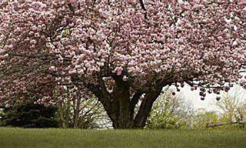 Southern Magnolia Tree Bees Magnolia Trees Blossom Trees Tree