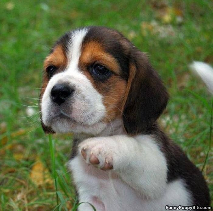 Beagle Dog A Small Dog Originates In Great Britian